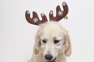 dog with reindeer horns. Christmas