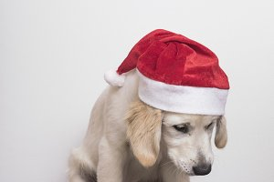Dog ready for Christmas