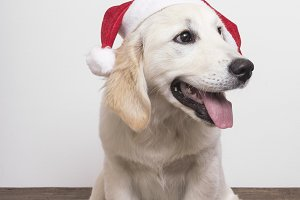 Cute dog with Christmas Hat on white