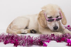 Golden Retriever ready for the party
