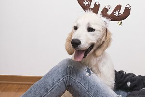Christmas dog.  Golden Retriever