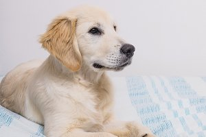 beautiful Golden Retriever on bed