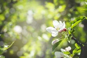 Apple flowers blossom background