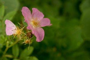 Closeup of Wild Rose Flower