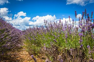 Summer lavender field in Provence,