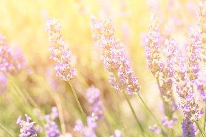 Lavender Bush