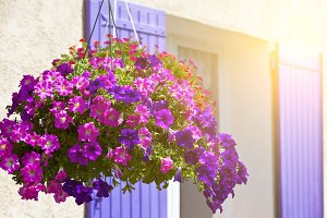 Bright petunia flowers on a house