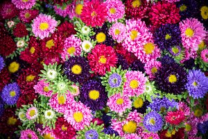 Bright multicolor asters background