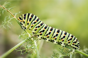 worm butterfly Papilio Machaon
