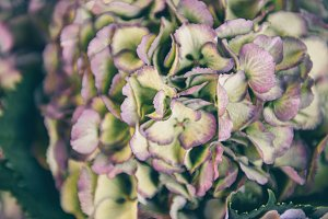 Close up of hydrangea flowers