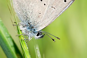 Cupido Minimus Butterfly Southern E