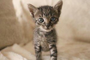 Tabby tiger kitten