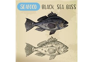 Sketch of black sea bass or bigmouth for signboard
