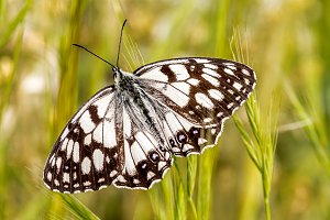 Melanargia Galathea, Butterfly South