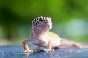 gecko, gecko with a green background