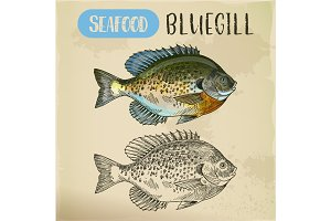 Bluegill sketch or hand drawn seafood