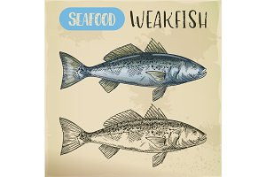 Sea trout or weakfish sketch for vegetarian shop