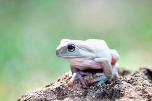 frogs, dumpy tree frogs