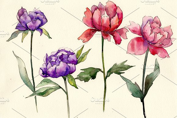 Two Colors Peonies PNG Watercolor