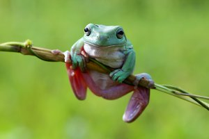 frogs, dumpy tree frogs on twigs