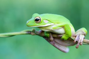 frogs, tree frogs on twigs