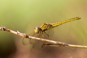 dragonflies, dragonflies on twigs