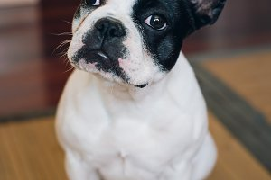 French bulldog dog at home.