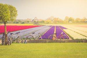 Multicolored tulips field in the
