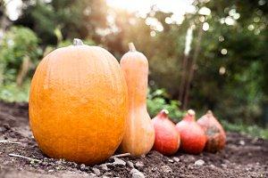Orange pumpkins laid on the ground. Sunny autumn nature.