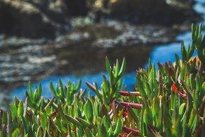 Coastal Succulents
