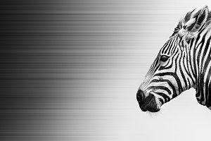 Zebra in wind, black and white