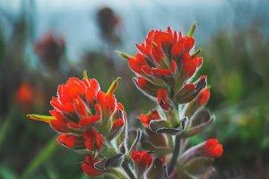 Orange Coastal Flower