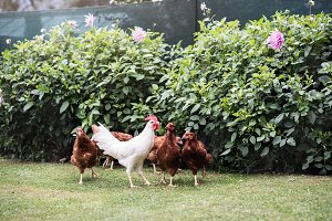 Hens and cock in garden at country side. Summer day.