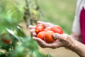 Unrecognizable senior woman in her garden holding tomatoes