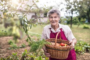 Senior woman in her garden harvesting vegetables. Summer garden.