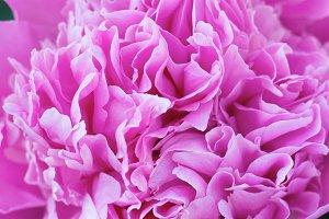 Beautiful pink peony macro