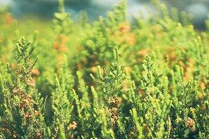 Green Fir Branches