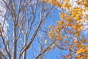Yellow Maple Leaves and white branch