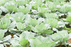 Farm agriculture cabbage. Arrange th