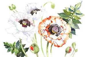 Field poppies PNG watercolor flower