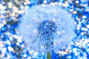 Beautiful dandelion with seeds