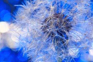 Fragile fluff of dandelion blowball