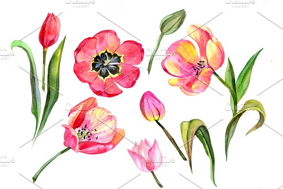 Red Tulip Watercolor PNG Flower Set