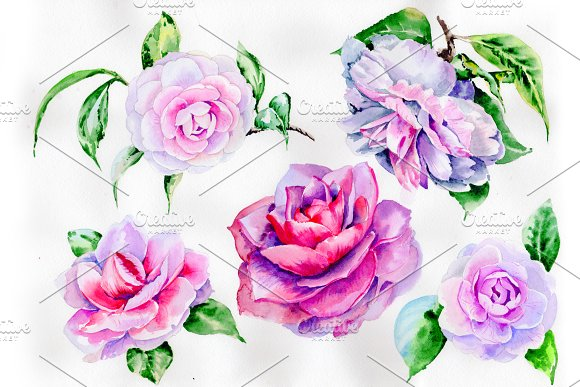 Stunning Pink Hulthemia PNG Set