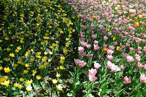 Yellow and pink tulips are the tracks in the posture in the ground.