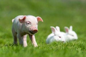 Piglet with rabbit