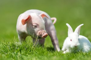 Piglet with rabbit