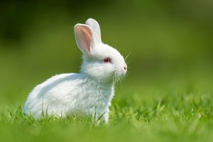 White baby rabbit
