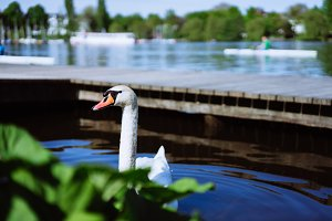 Curious head of a swan coming up behind the plants at Alster Lake in Hamburg, Germany