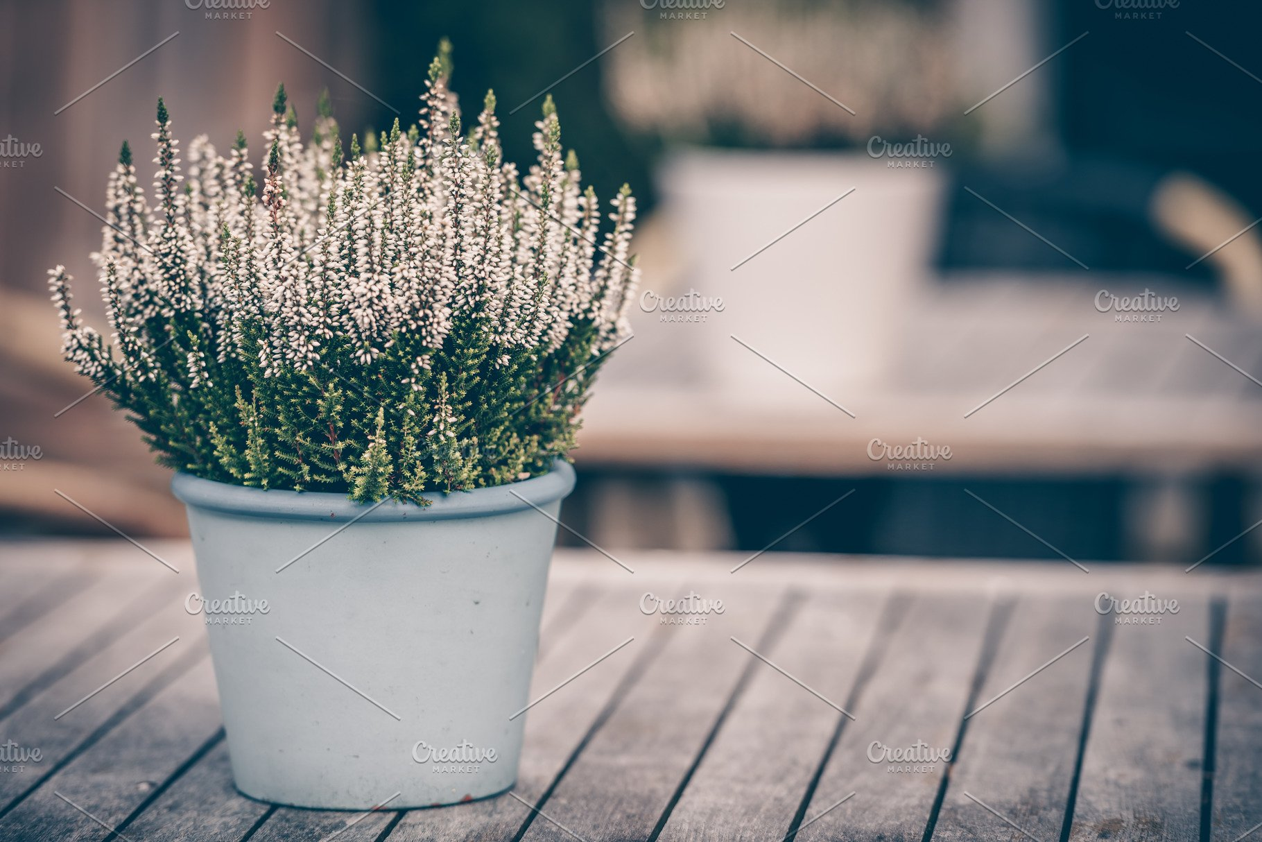 Potted White Heather Flowers Nature Photos Creative Market Pro